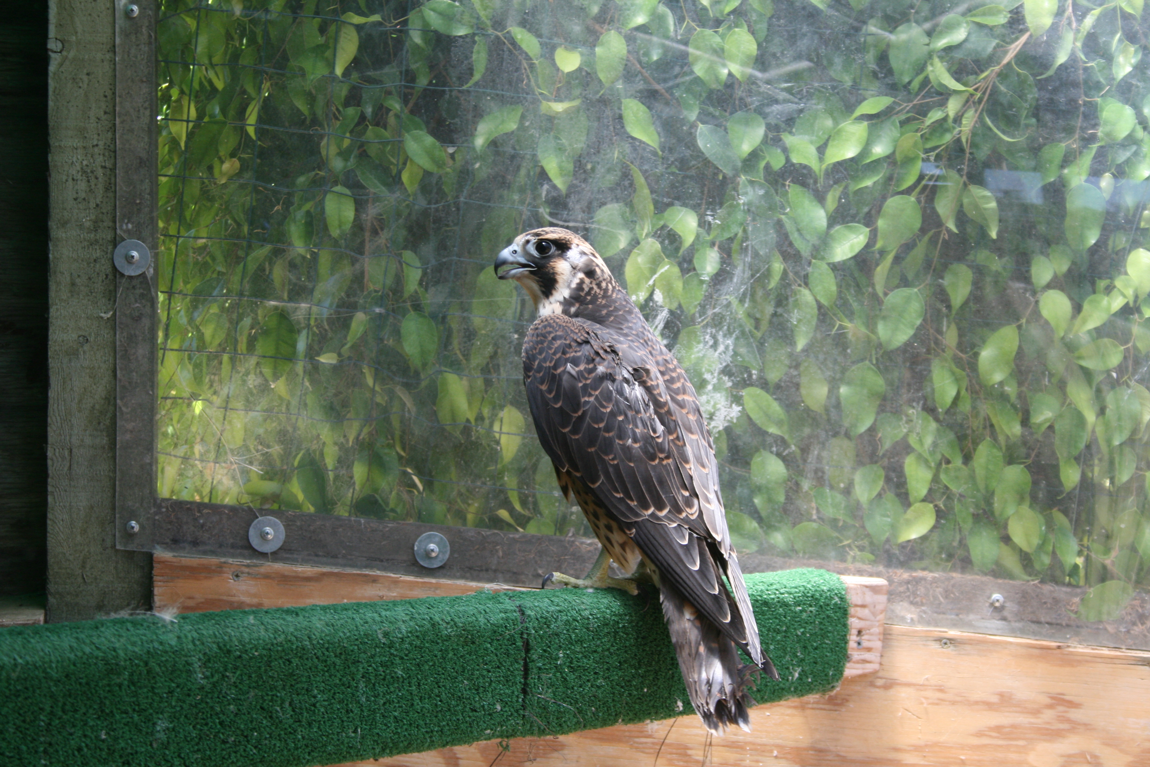 A healthy happy peregrine...